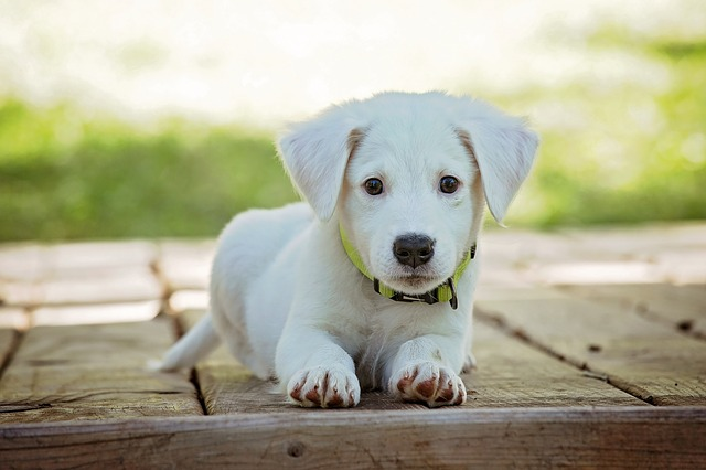 bílé štěňátko